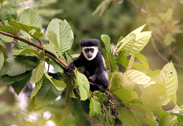 young black and white colobus