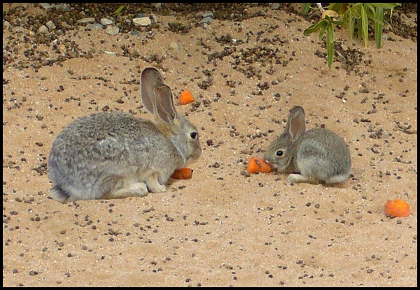 14-Mother_and_Juvenile_Cottontail