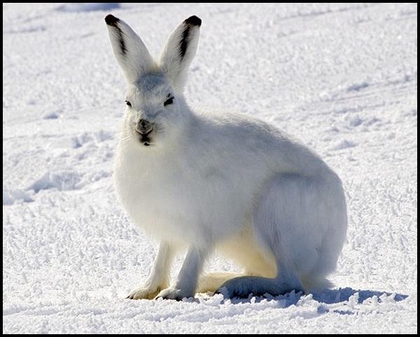 19-Arctic_Hare