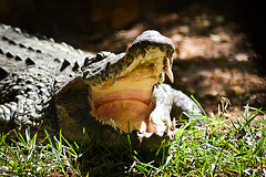 A croc from Crocodile bank, Kovalam - Chennai by s_pixels