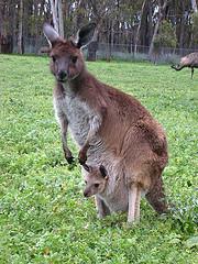 kangaroo by Subhash Chandra