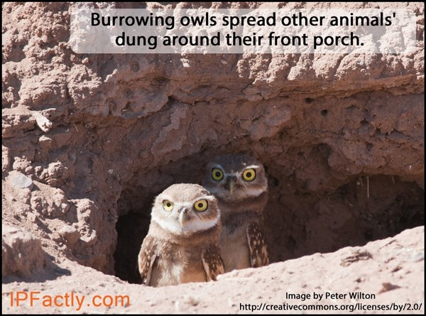 Burrowing owls collecting dung