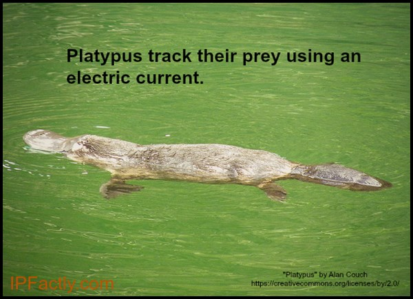 Platypus track their prey using electric current.
