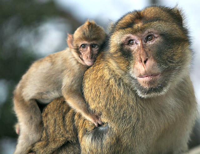 Barbary macaque father and son