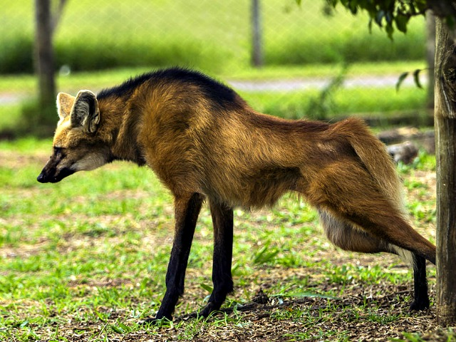 Maned_Wolf_pee_urine