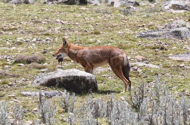 Rare_Ethiopian_Wolf_Feeding