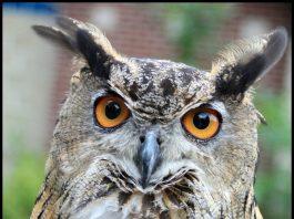 The Super Sharp Orange Eyes of Owl by GollyGforce cc2.0