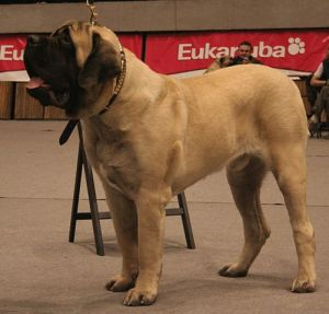 English Mastiff by Pleple2000 cc3.0