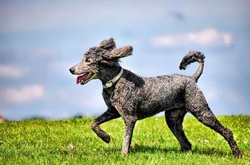 Pepper (Flying Poodle)