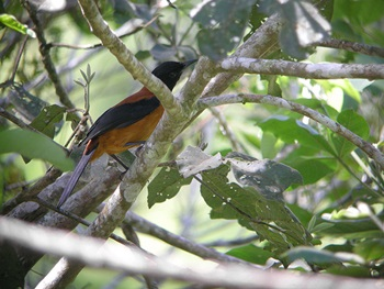 hooded -pitohui