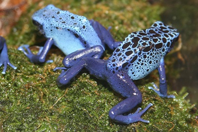 Poison Dart Frog (Dendrobates azureus)