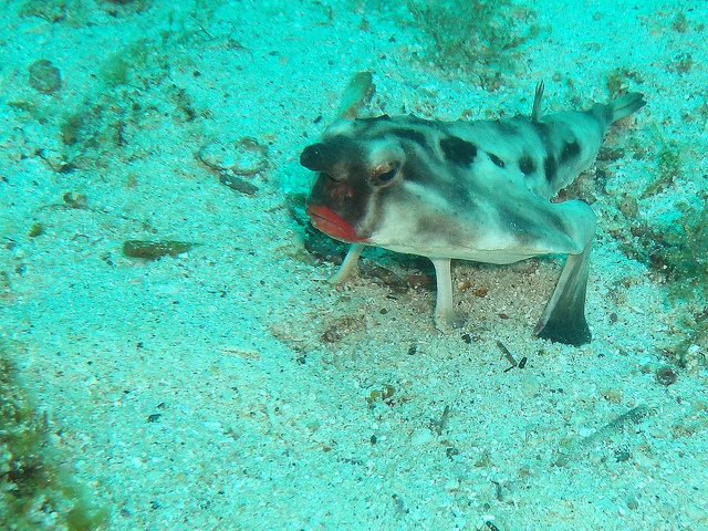 Red-lipped Bat fish (endemic to Galapagos)