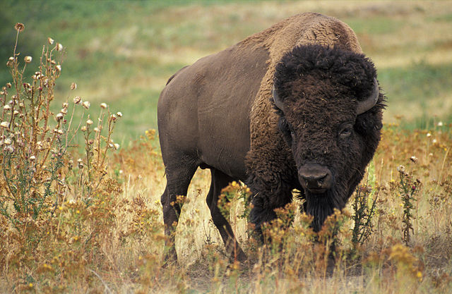 640px-American_bison_k5680-1