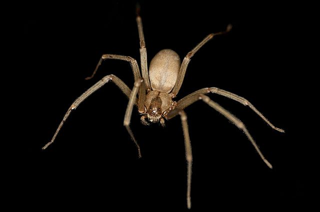 640px-Brown_Recluse