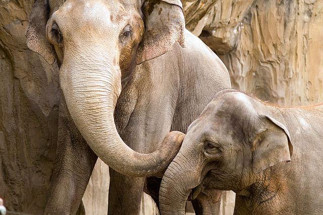 640px-Elephants-OregonZoo