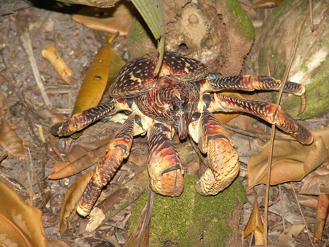 Coconut Crab {Birgus latro}