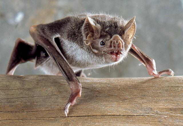 Desmo-boden-common-vampire-bat