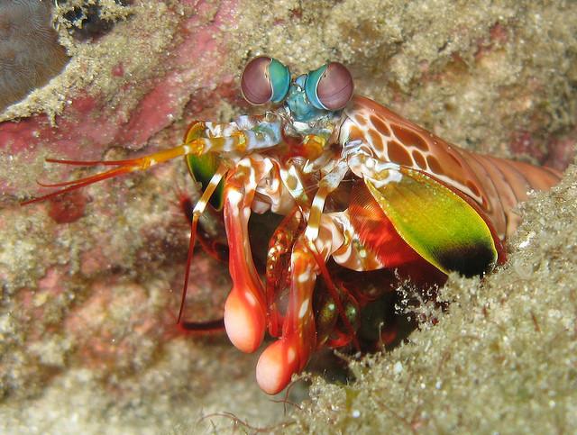 Mantis Shrimp - Odontodactylus scyllarus