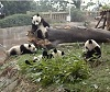 Panda Rolling on the Hill.