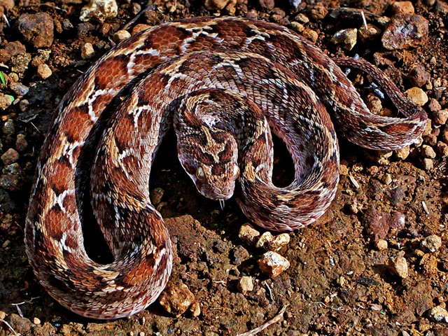 Saw-scaled_Viper_(Echis_carinatus)_Photographed_By_Shantanu_Kuveskar