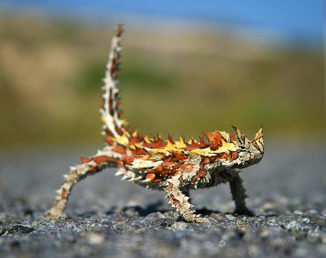 Spike the thorny devil