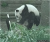 Panda Getting Owned by Another Panda.