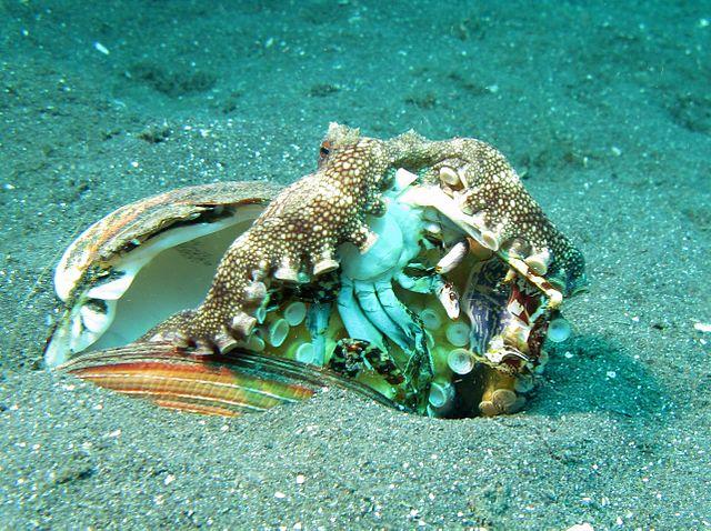 Veined Octopus -Amphioctopus Marginatus eating a Crab