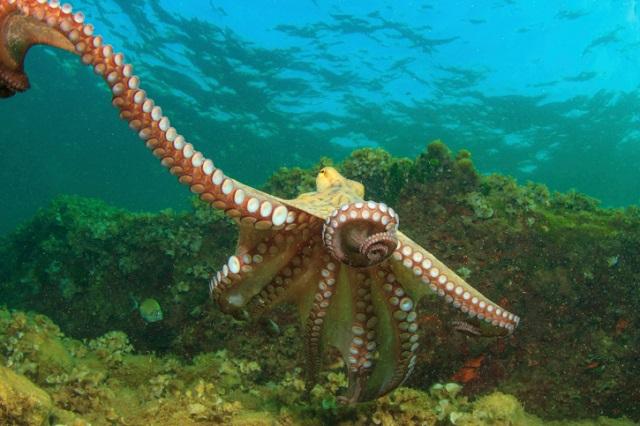 octopus arms - regenerate