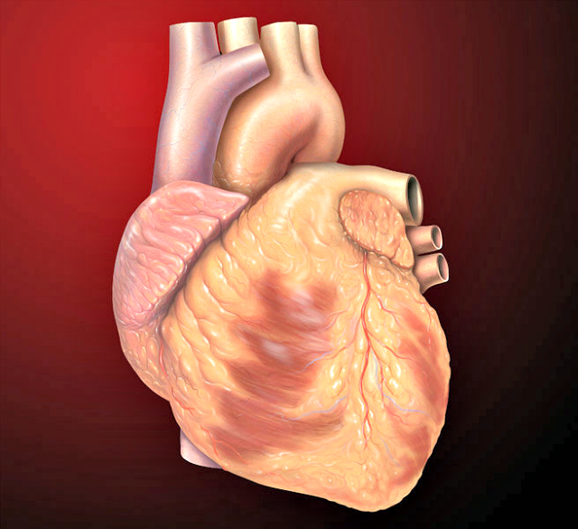 Heart_anterior_exterior_view