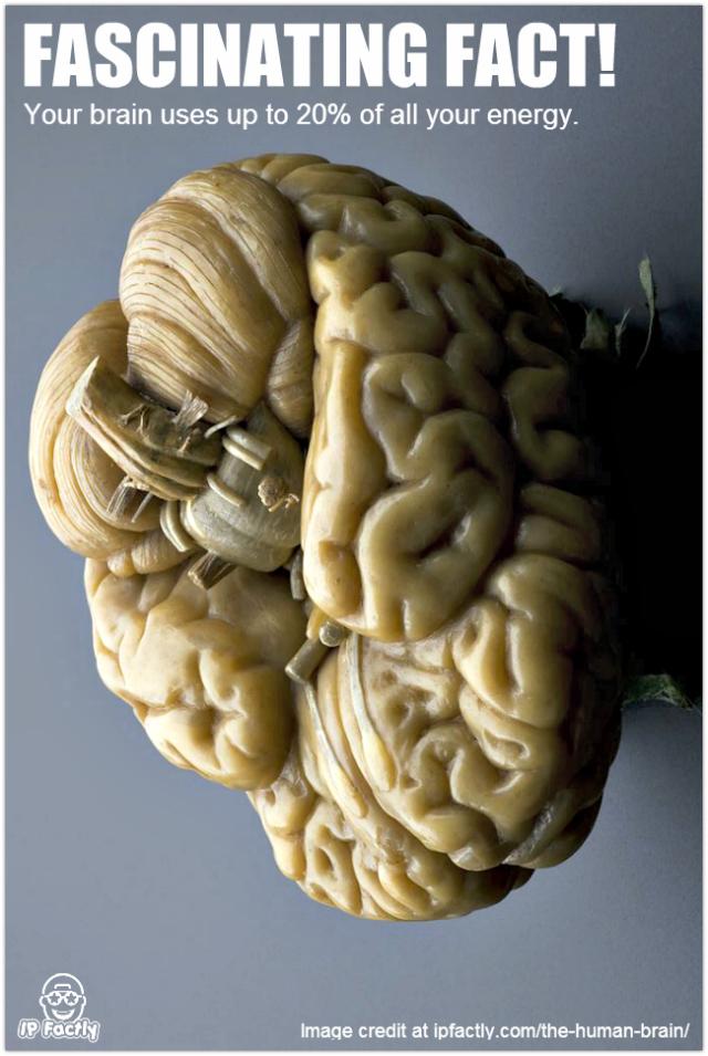 Model_of_a_human_brain