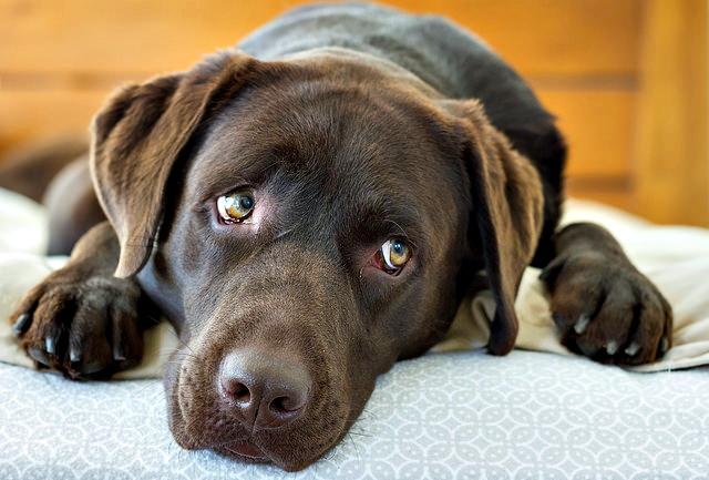Hershey, the chocolate Labrador