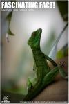 Basilisk Lizard - Female