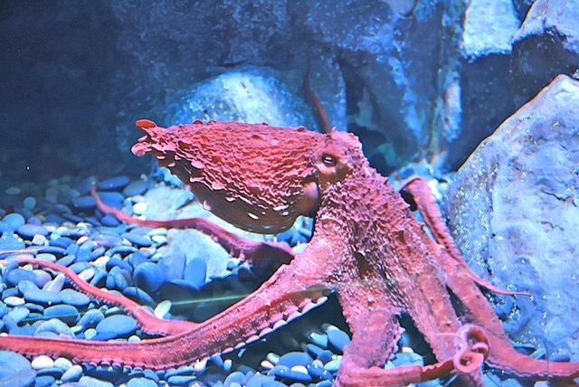 Giant pacific octopus - Enteroctopus dofleini