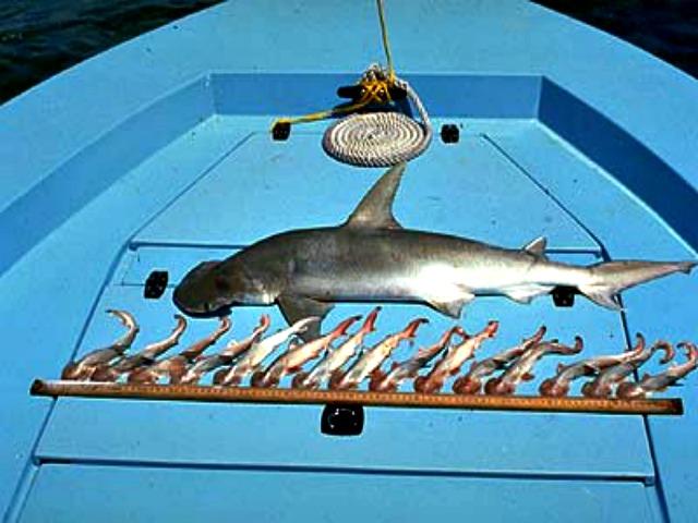 viviparous_sharks_hammerhead_shark