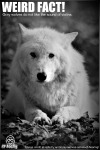 Gray_wolf