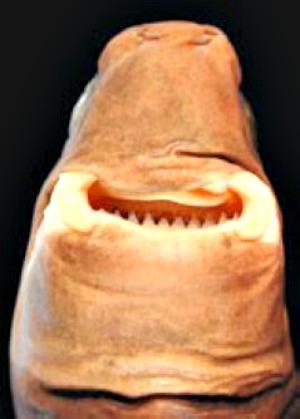Cookiecutter_shark_teeth