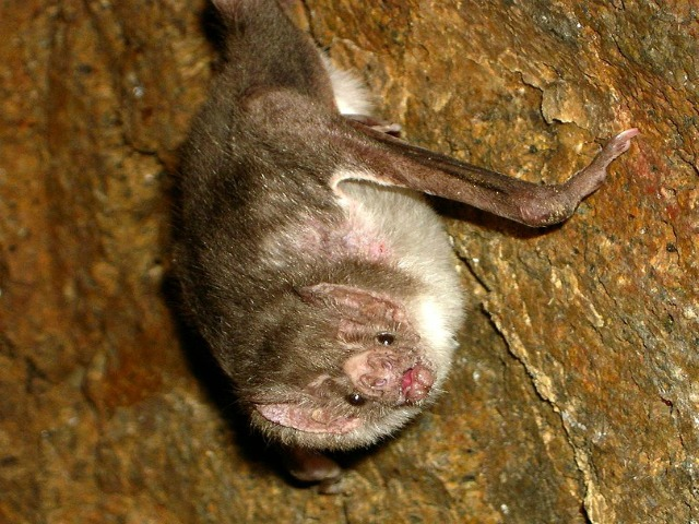 Desmodus_rotundus_common_vampire_bat