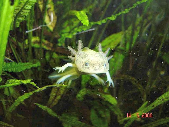 axolotl_ambystoma_mexicanum