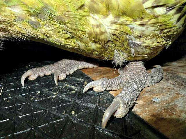 kakapo_feet