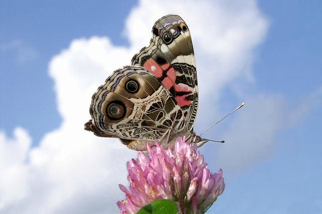 American_Lady_Against_The_Sky_psyche_butterfly
