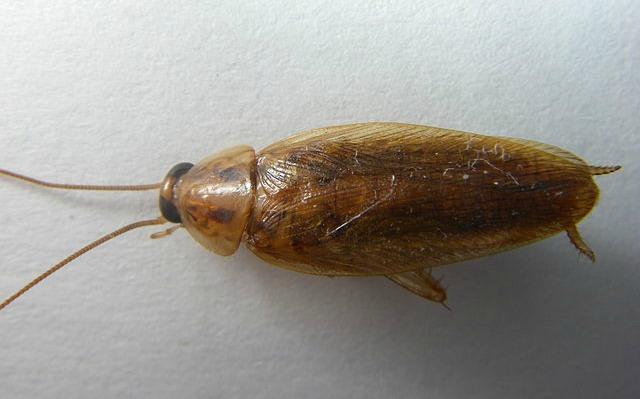 German_Cockroach_Blattella_germanica