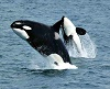 Jumping_Killer_whales