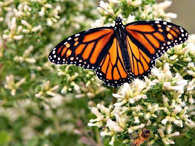 Monarch_Butterfly_Danaus_plexippus
