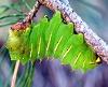 Antheraea_polyphemus_larva