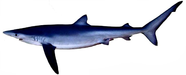 Blue_shark_Prionace_glauca