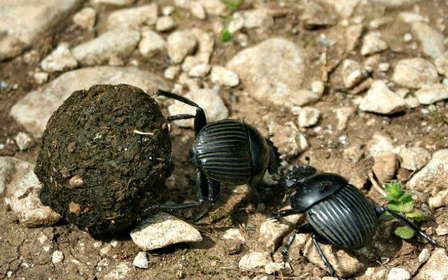 Dung_beetle_Scarabaeus_laticollis