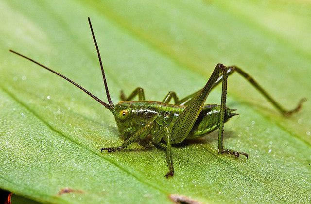 Grilo_cricket