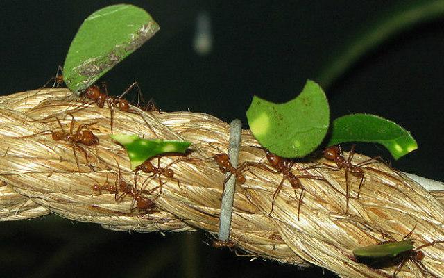 Leaf_cutter_ants_arp