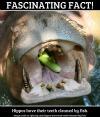 Hippo's teeth