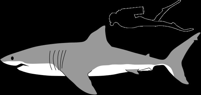 Great white shark size comparison